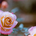 22神代植物公園【秋バラ:マジョレット】6銀塩