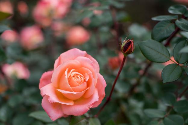 21神代植物公園【秋バラ:マジョレット】5