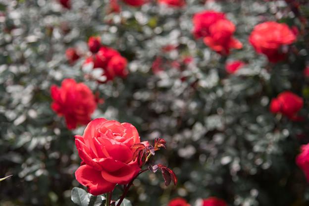 23神代植物公園【秋バラ:フィデリオ】1