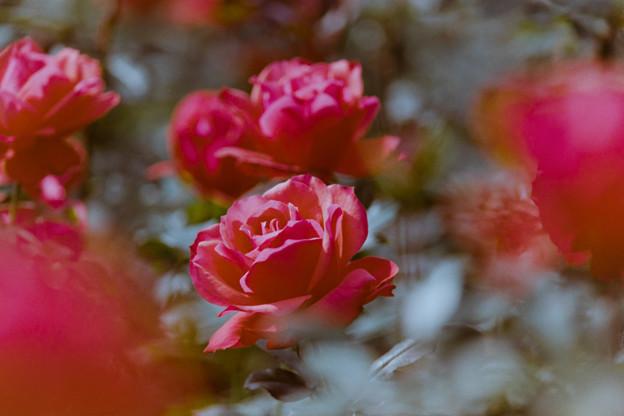 24神代植物公園【秋バラ:フィデリオ】2銀塩