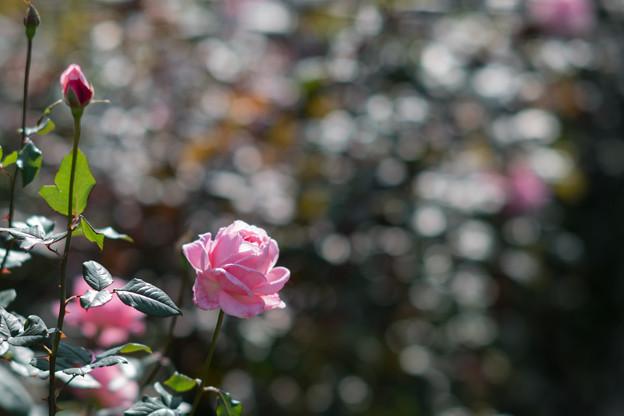 29神代植物公園【秋バラ:クイーン・エリザベス】3