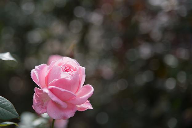 30神代植物公園【秋バラ:クイーン・エリザベス】4