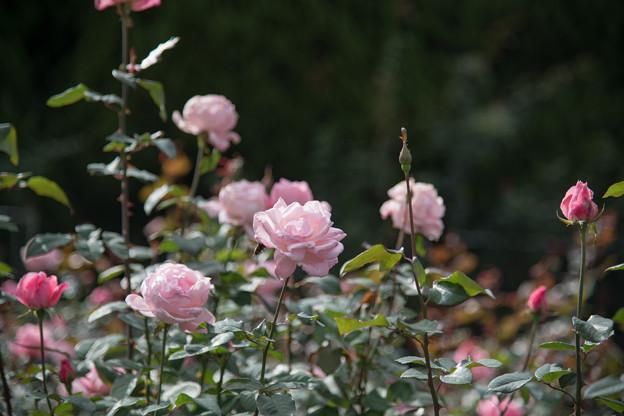 27神代植物公園【秋バラ:クイーン・エリザベス】1