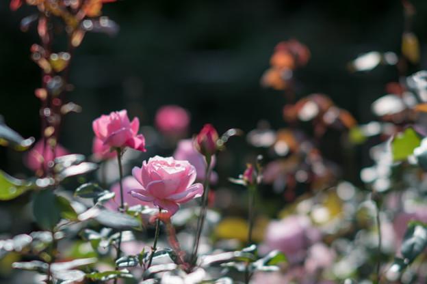28神代植物公園【秋バラ:クイーン・エリザベス】2