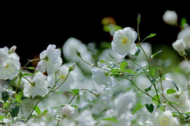 32神代植物公園【秋バラ:アイスバーグ】2銀塩