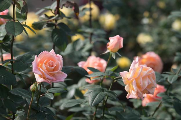 33神代植物公園【秋バラ:サマー・ドリーム】1