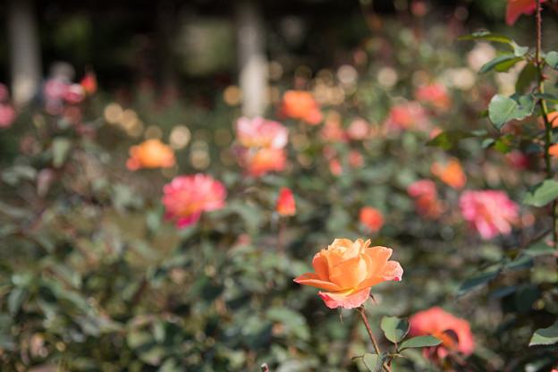 37神代植物公園【秋バラ:スーブニール・ドゥ・アンネ・フランク】1