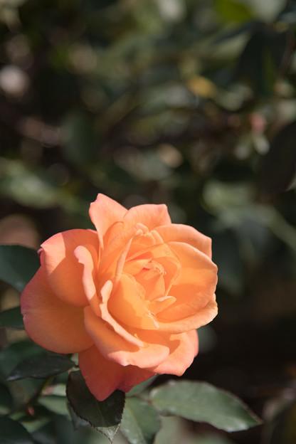 38神代植物公園【秋バラ:スーブニール・ドゥ・アンネ・フランク】2