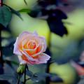 34神代植物公園【秋バラ:サマー・ドリーム】2銀塩