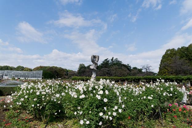 31神代植物公園【秋バラ:アイスバーグ】1