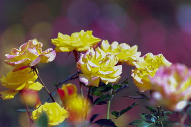36神代植物公園【秋バラ:ファンファーレ】2銀塩
