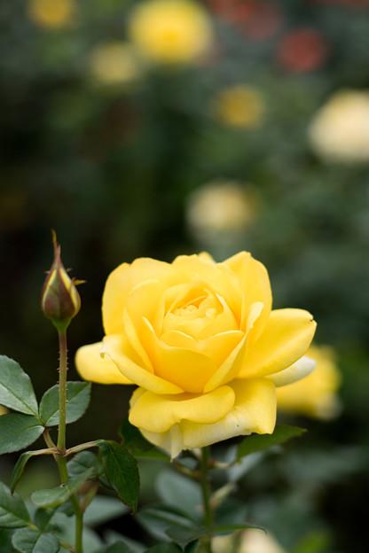 41神代植物公園【秋バラ:伊豆の踊子】1