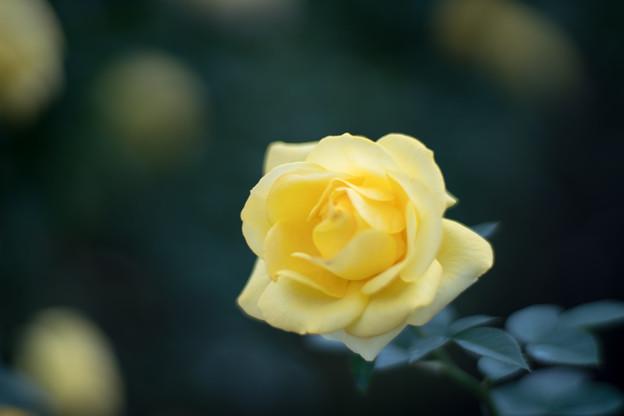 42神代植物公園【秋バラ:伊豆の踊子】2