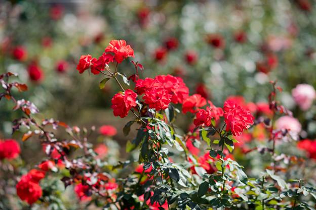 43神代植物公園【秋バラ:花房】1