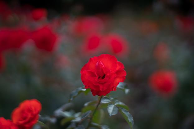 44神代植物公園【秋バラ:花房】2