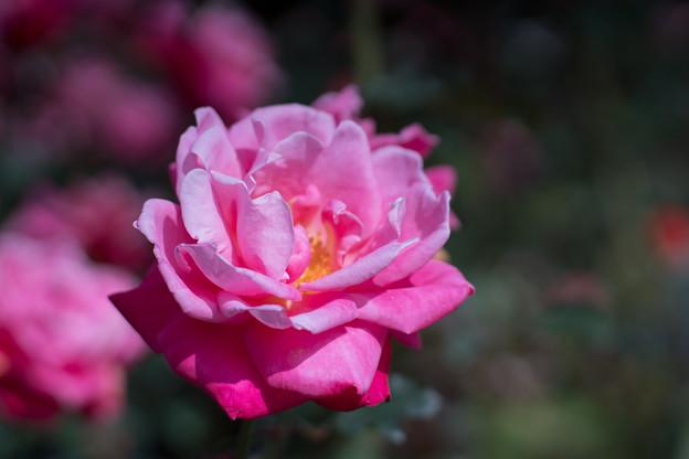 48神代植物公園【秋バラ:プリンセス・チチブ】2