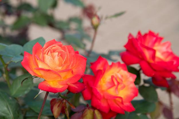 45神代植物公園【秋バラ:錦絵】1