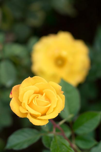 50神代植物公園【秋バラ:ゴールドマリー】2