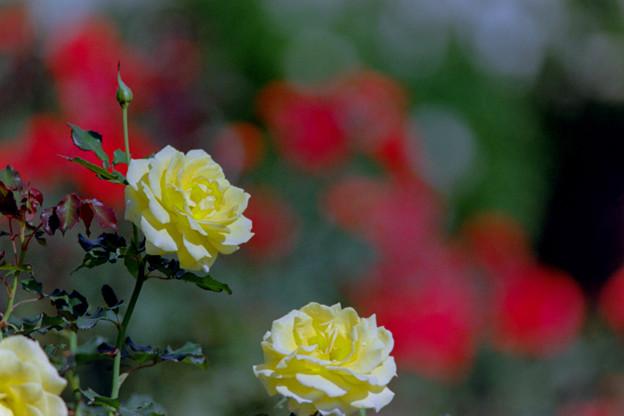 49神代植物公園【秋バラ:ゴールドマリー】1銀塩