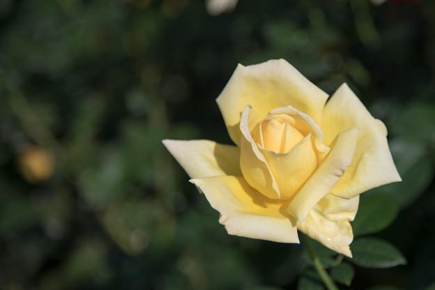 55神代植物公園【秋バラ:天津乙女】