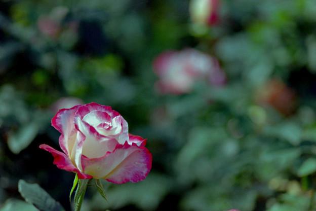 57神代植物公園【秋バラ:ダブル・ディライト】銀塩