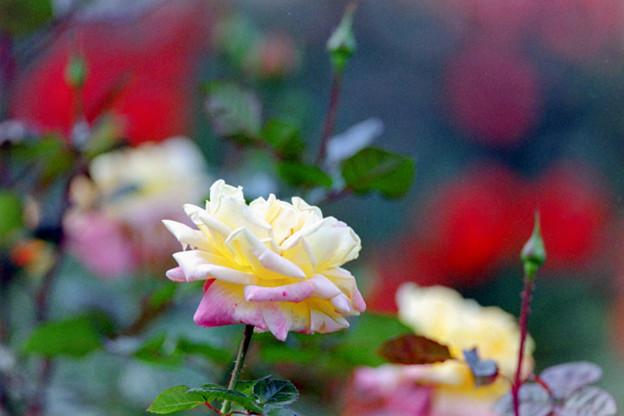 59神代植物公園【秋バラ:モナリザ】銀塩