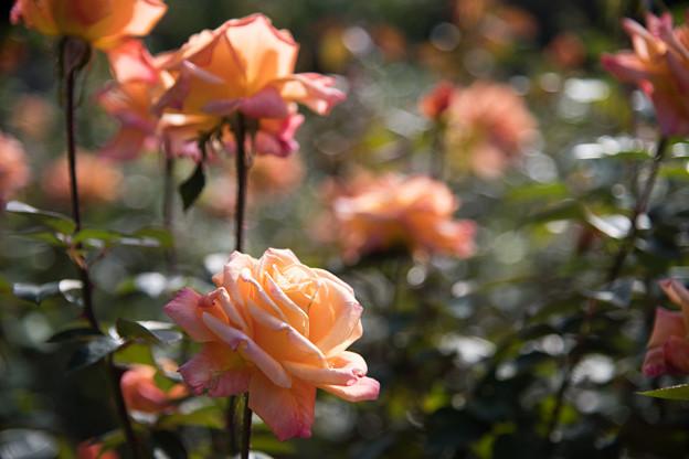 54神代植物公園【秋バラ:アリゾナ】2