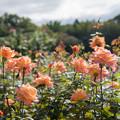53神代植物公園【秋バラ:アリゾナ】1