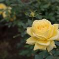 62神代植物公園【秋バラ:ミラベラ】