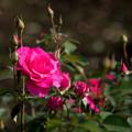 Photos: 63神代植物公園【秋バラ:うらら】
