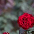 Photos: 65神代植物公園【秋バラ:ユーロピアーナ】