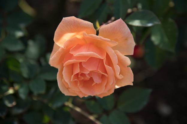 66神代植物公園【秋バラ:ジャスト・ジョイ】