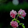 69神代植物公園【秋バラ:ラビィーニア】銀塩