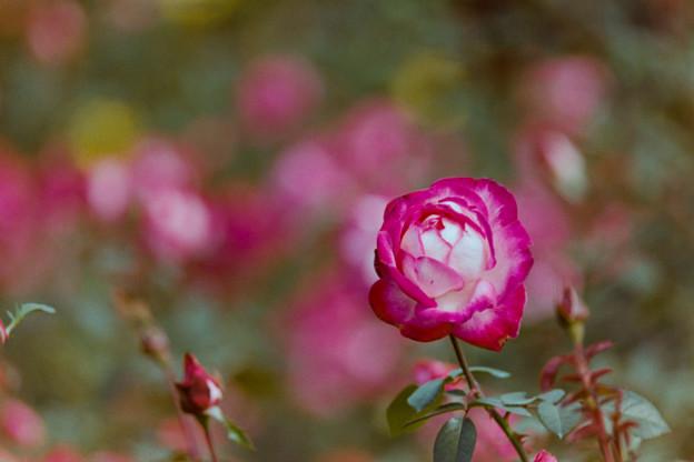 70神代植物公園【秋バラ:聖火】銀塩