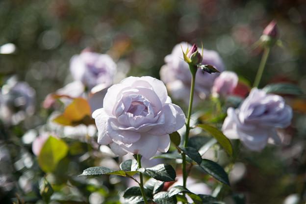 61神代植物公園【秋バラ:ブルー・バユー】