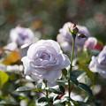 Photos: 61神代植物公園【秋バラ:ブルー・バユー】