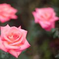 Photos: 71神代植物公園【秋バラ:プリンセス・サヤコ】