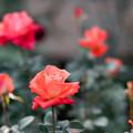Photos: 73神代植物公園【秋バラ:ローラ'81】