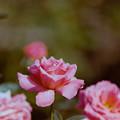 74神代植物公園【秋バラ:ポリネシアン・サンセット】銀塩