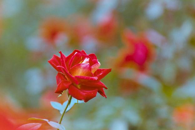 75神代植物公園【秋バラ:かがやき】銀塩
