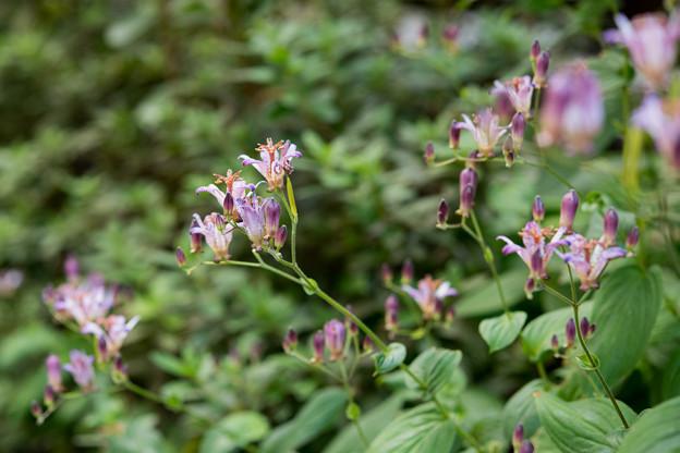 庭の花【ホトトギス】1