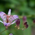 庭の花【ホトトギス】3
