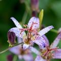 Photos: 庭の花【ホトトギス】4