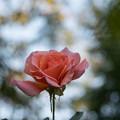 Photos: 25YEG【秋バラ:ドクター・ジョー】2