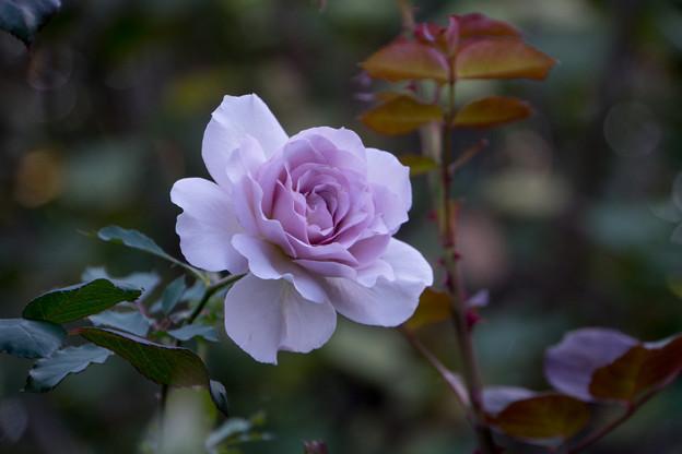 18YEG【秋バラ:ラブリー・ブルー】1