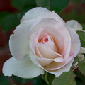 32YEG【秋バラ:ムーン・ストーン】