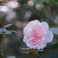 26YEG【秋バラ:モニーク・ダーヴ】1