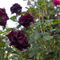 30YEG【秋バラ:ブラック・ビューティー】1