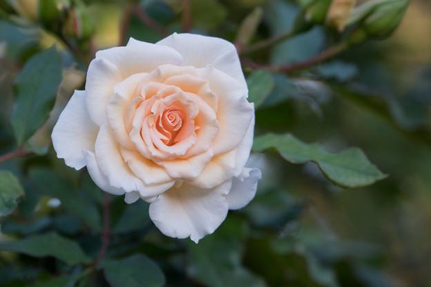 38YEG【秋バラ:ホワイト・ドリーム・ウィーバー】
