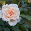 Photos: 38YEG【秋バラ:ホワイト・ドリーム・ウィーバー】